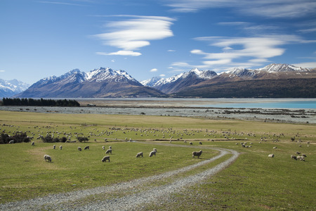 New Zealand sheep farm and mountain cook  background.