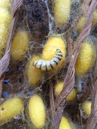 gusanos: Gusanos de seda Foto de archivo