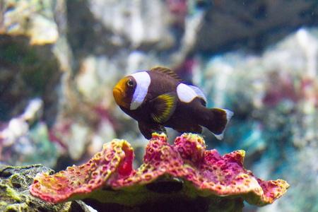 pez payaso: Nemo pez payaso Foto de archivo