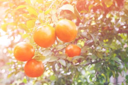 Fresh organic orange fruit hanging on tree in the orchard under morning sun light and soft light tone