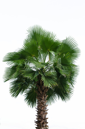 cambodian palm: Borassus flabellifer, known by several common names, including Asian Palmyra palm, Toddy palm, Sugar palm, or Cambodian palm, tropical tree in the northeast of Thailand isolated on white background.