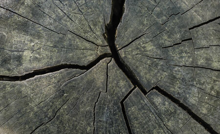 counted: Tree rings are counted to determine the age of a tree.