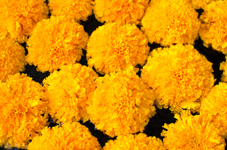 tagetes: Tagetes erecta L or  Marigold beautiful flower.
