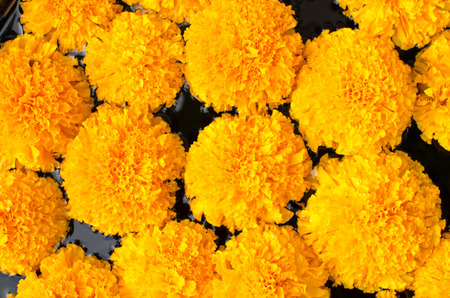 Tagetes erecta L or  Marigold beautiful flower.
