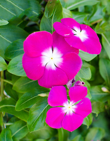 macr: The beauty pink Vinca flower on green nature background .