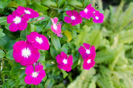 macr: The beauty pink Vinca flower isolated on green nature background. Stock Photo