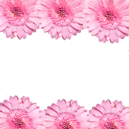 closeup of pink daisy with: blooming beautiful pink flower isolated on white background . Stock Photo