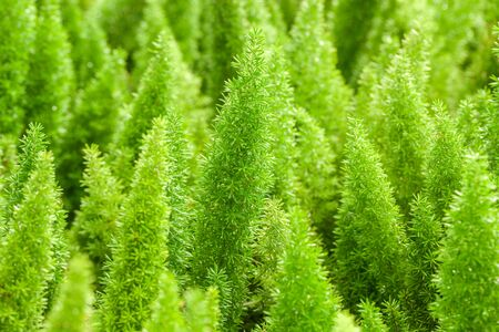 assort: Little pine green plant background popular choice for christmas background.
