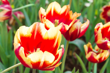 showy: The tulip is a perennial, bulbous plant with showy flowers in the genus Tulipa, of which up to 109 species