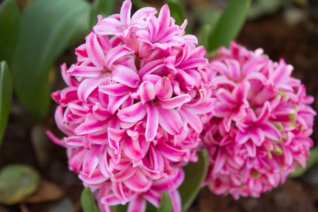 pink pearl: Close up Beautiful Pink Pearl Regular Hyacinth