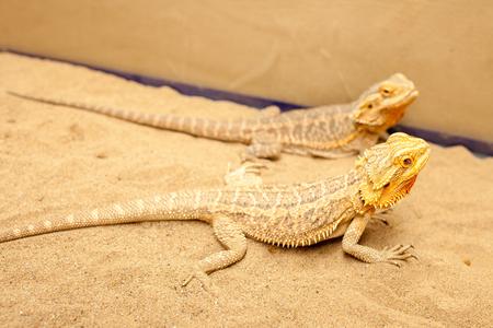 lizard in field: Gran Iguana amarilla en la mano humana. Foto de archivo