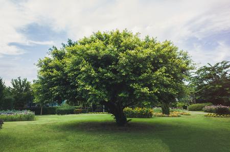 Single tree in the green field.