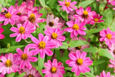 pink zinnia garden Stock Photo