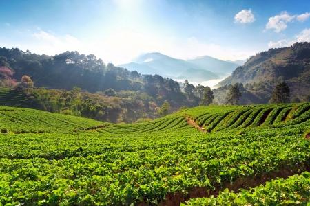 ochtend om mooie aardbeien boerderij in Chiangmai Thailand Stockfoto