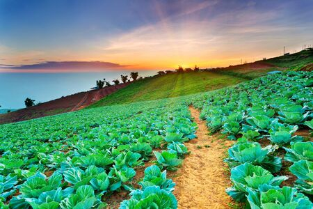 morning at cabbage field