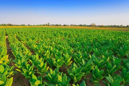 tobacco: Tobacco farm