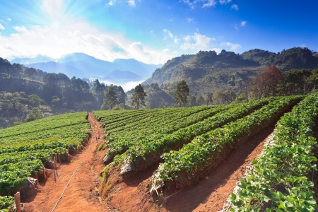 morning at beautiful strawberries farm at Chiangmai Thailand Stock Photo
