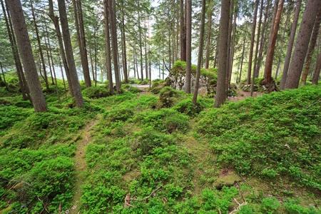 evergreen forest: Evergreen forest