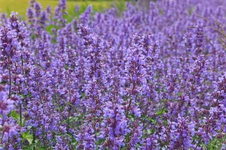 Lavender Flowers field photo