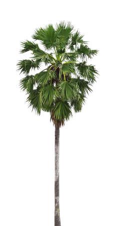 Sugar palm isolated on white background