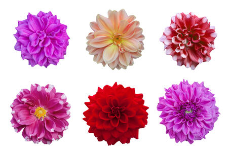 Dahlia flower isolated on white background with clipping path photo
