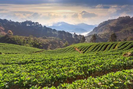 morning at beautiful strawberries farm at Chiangmai Thailand photo