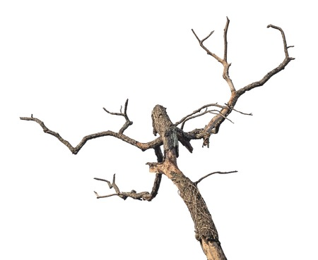 arboles secos: rama, �rbol, aislado, abstracto, madera, morir, muerto, fondo blanco, la muerte, de madera, silueta, naturaleza, detalle, seco