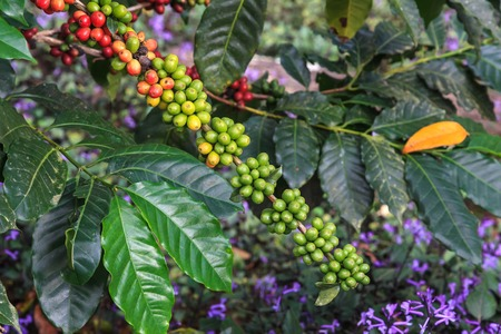 coffee coffee plant: fresh coffee beans on tree Stock Photo