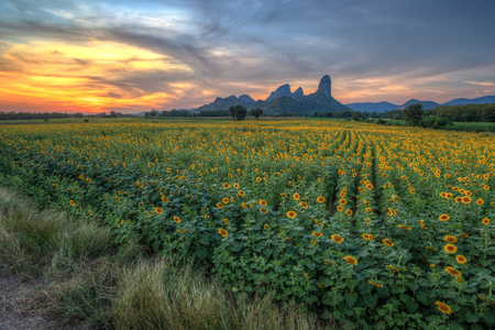 sunset at sunflower field with mountain background photo