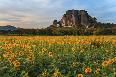 Sunflower field with mountain background photo