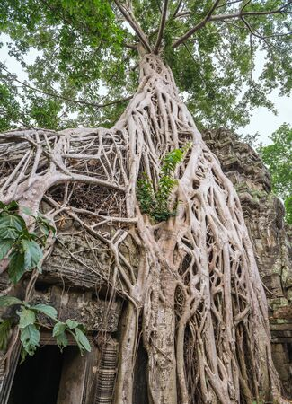 siem reap: Ta Prohm Temple , Siem Reap , Cambodia