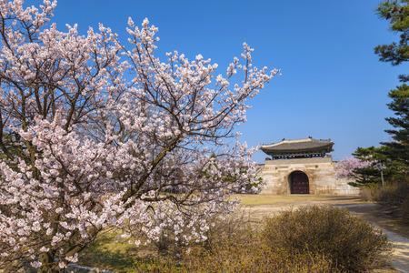 gyeongbokgung: Gyeongbokgung Palace with cherry blossom, Seoul, South Korea