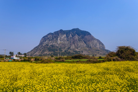 Canola veld bij Sanbangsan, Jeju, Zuid-Korea Stockfoto