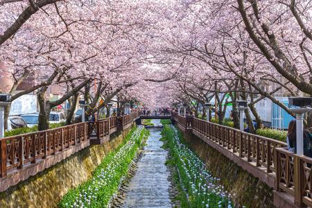 Flor de cerezo en Yeojwacheon Stream, Corea del Sur Foto de archivo - 56779820