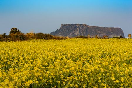 Canola Feld bei Seongsan Ilchulbong, Jeju, Südkorea Standard-Bild - 56780072