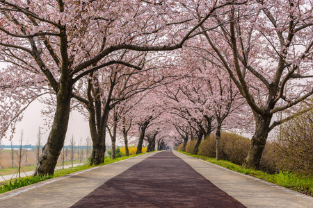cherry blossoms: Spring pink cherry blossom tree and walk path in Busan, South Korea
