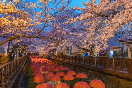 Frühlings-Kirschblüte an Yeojwacheon-Strom nachts, Jinhae, Südkorea Standard-Bild - 72750714