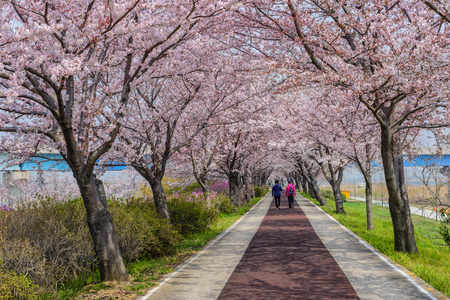 republic of korea: Spring pink cherry blossom tree and walk path in Busan, South Korea