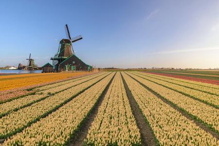 Amsterdam Niederlande, Holländische Windmühle und traditionelles Haus im Dorf Zaanse Schans mit Tulpenfeld