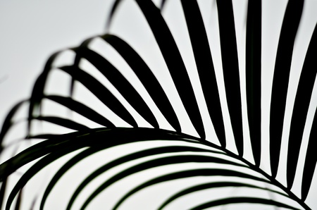 black and white backgrounds: palm leaf black and white Stock Photo