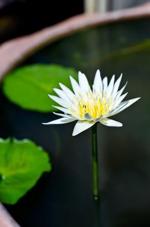 white lotus in bowl