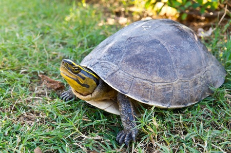 young land turtle on grass