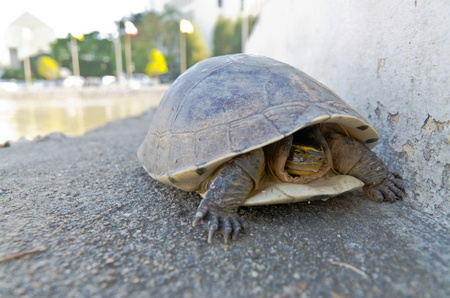 spurred: young land turtle escape from hot Stock Photo