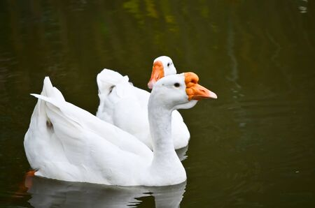 two white gooses swimming in lake