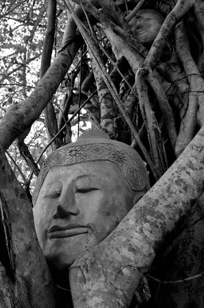eligion: the head of buddha statue on the big tree
