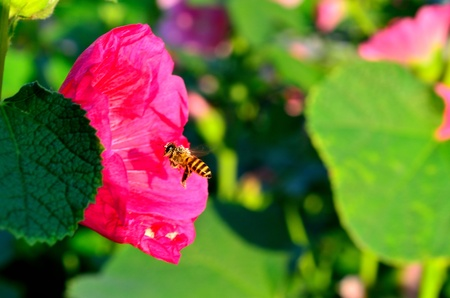 bee flying to flower Stok Fotoğraf