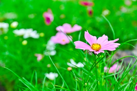 Beautiful flowers cosmos in garden photo