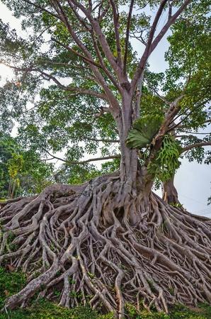 racines: arbre noir avec de grosses racines