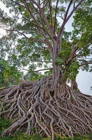 black tree with big roots