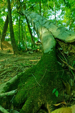 Fallen, tree in rain forrest, thailand Stock Photo